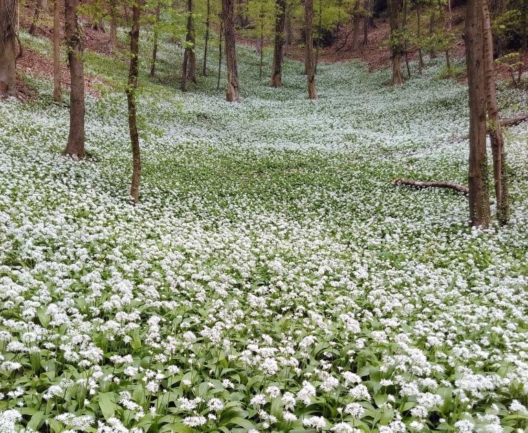 Amberley Woods with garlic 30.4.17