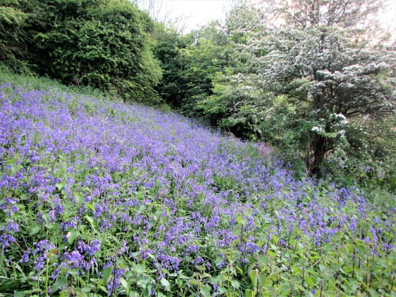 Bluebells at back of Long Down