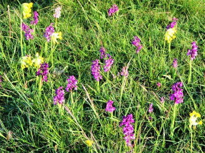 Green-winged orchids + cowslips. credit - C Aistrop