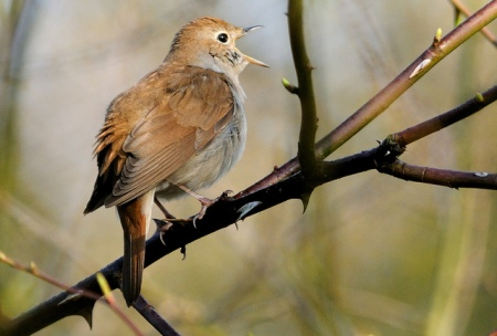 Nightingale singing. credit - Kev Chapman