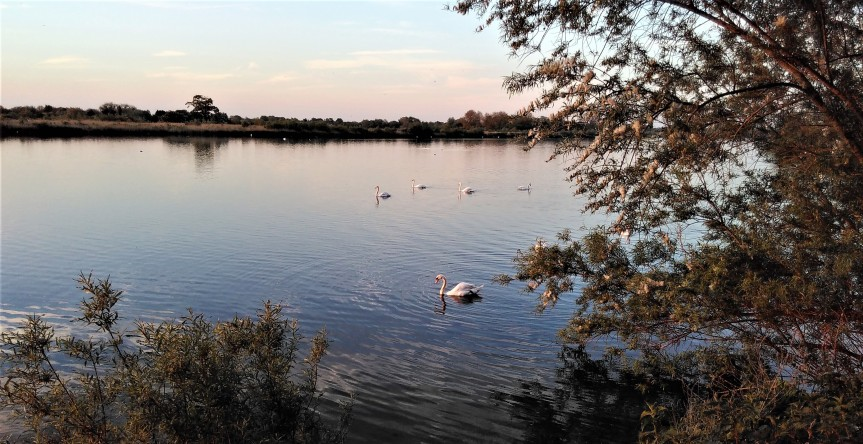 Swans on Cleveland lake 68a
