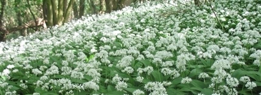 Wild garlic. credit - C Aistrop
