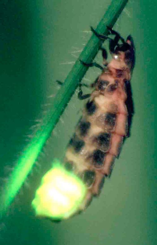 Female glow-worm doing what she does best!