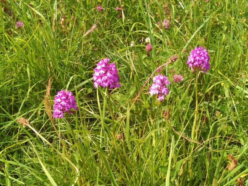 Pyramidal orchids Rudge Hill - C Aistrop