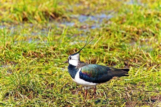 photo - lapwing