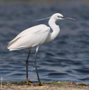 photo - Little egret