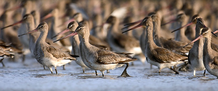 Photo - waders bar-tailed godwits (WWT website)
