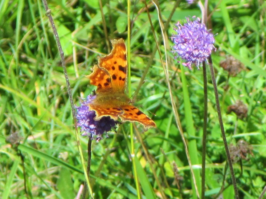 Strawberry Banks Comma + db scabious - Caroline Aistrop