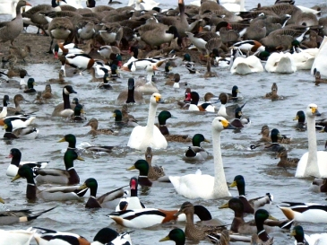 Photo of Bewick Swans and wildfowl by David Dixon