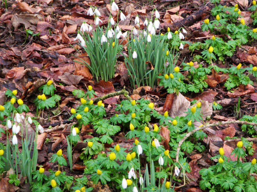 Conygre Woods - snowdrops + aconites close-up Caroline Aistrop