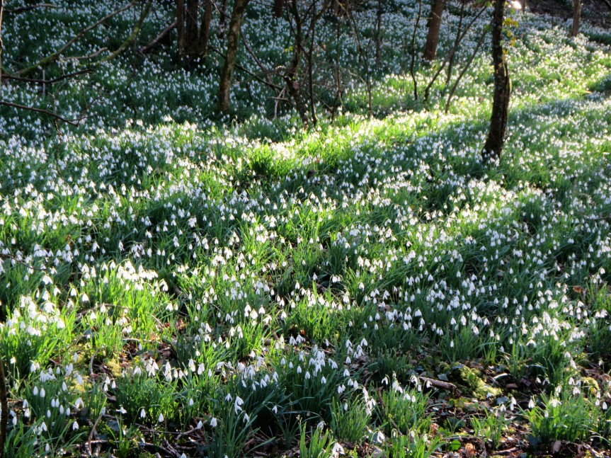 Cherington Pond - bank of snowdrops Feb 2018 Caroline Aistrop