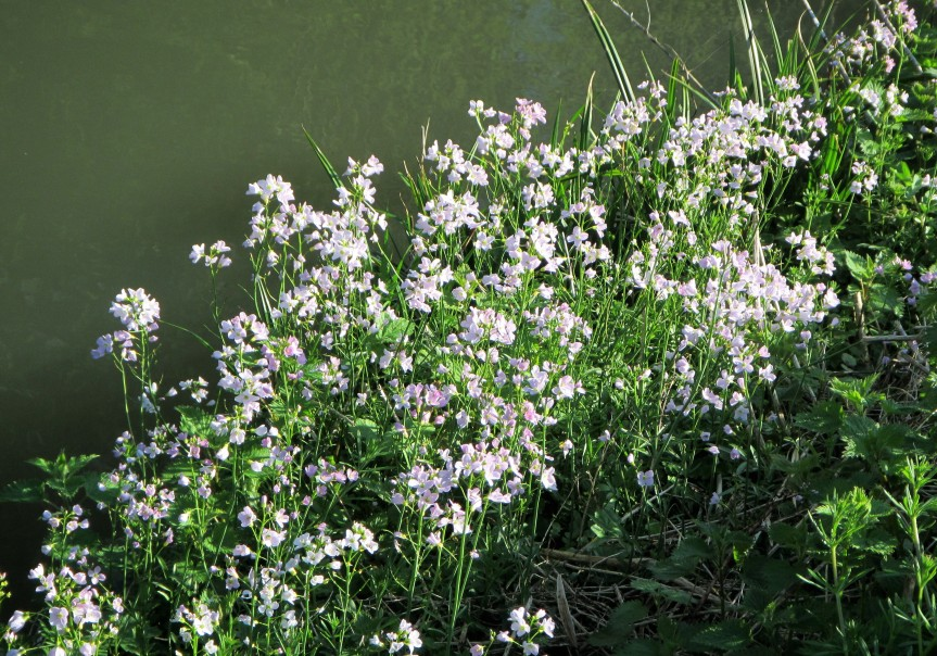 Wildlife april - group of Cuckoo flower Canal Cainsx rd Caroline Aistrop