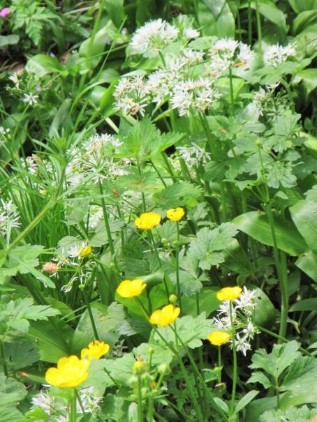 Box wood - garlic + buttercups May 18 C Aistrop