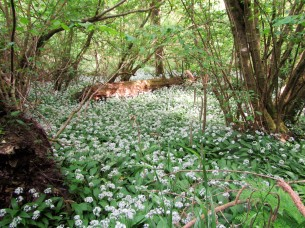 Box wood - garlic + hazels May 18 C Aistrop
