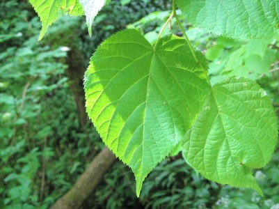 Box wood - lime leaves May 18 C Aistrop