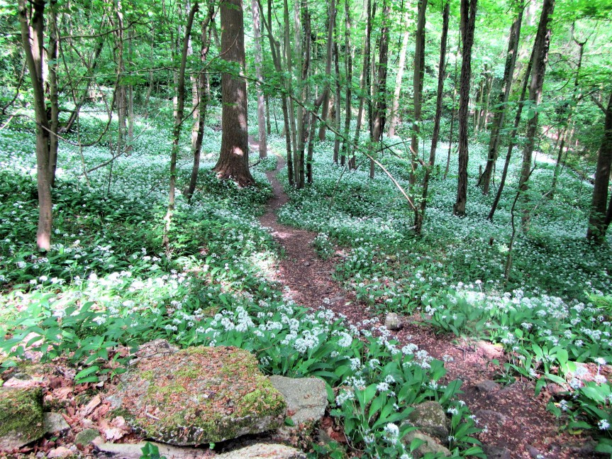 Box wood - wild garlic carpet in wood May 18 C Aistrop