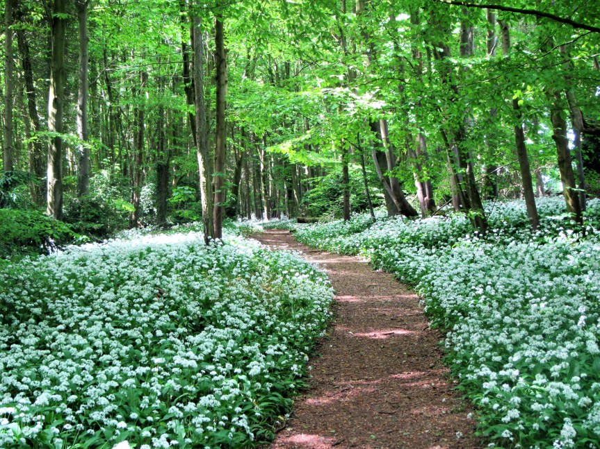 Conygre woods - footpath through wild garlic May 18