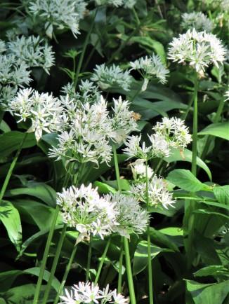 Conygre woods - portrait wild garlic close-up May 18