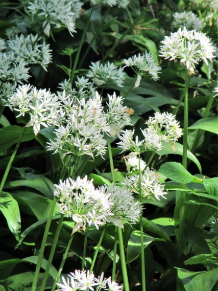 Conygre woods - portrait wild garlic close-up May 18