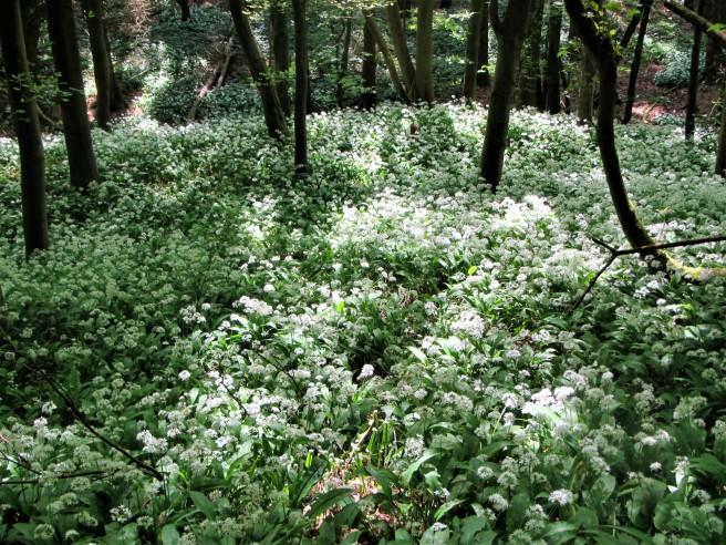 Conygre woods - wild garlic carpet May 18