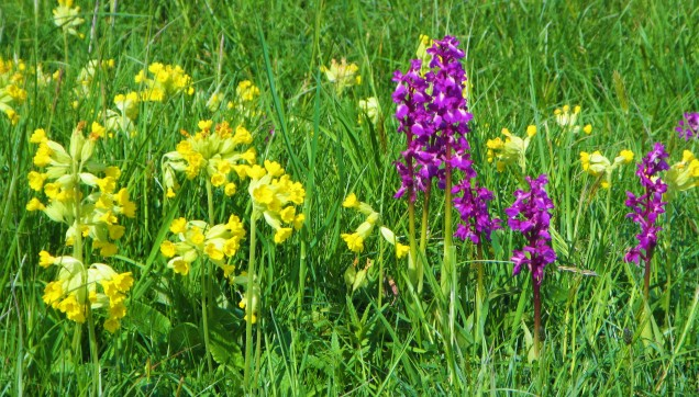 cowslips + early purples nice bunch Rod common May 2018 C Aistrop