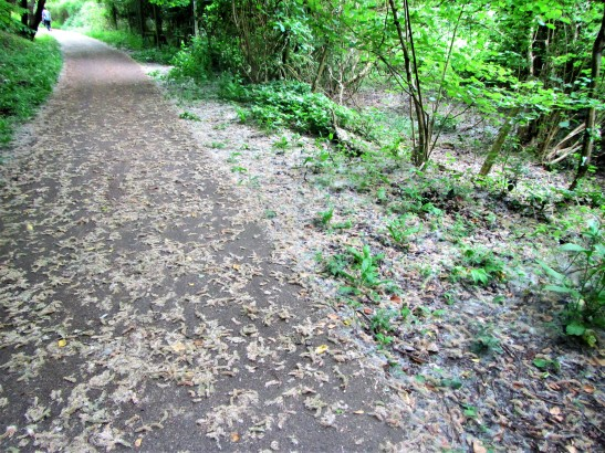 Cycle track Stroud-Dudbridge - pussy willow fluff + catkins on track May 2018 C Aistrop