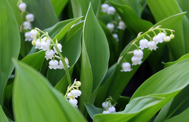 lily of the valley - _Alicja_ pixabay