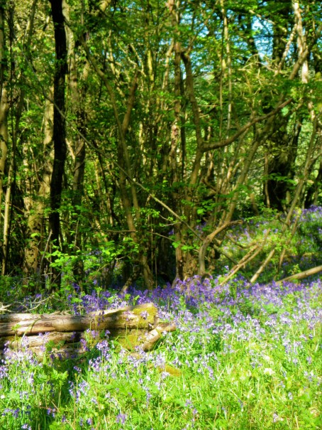 Siccaridge wood - bluebells +coppiced logs portrait 6.5.18 C Aistrop