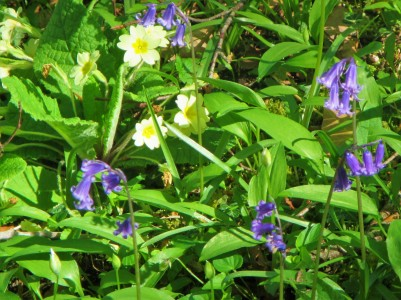 Siccaridge wood - primroses and bluebells 6.5.18 C Aistrop