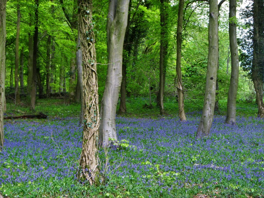 Standish wood - bluebells and lots of trees May 2018 C Aistrop