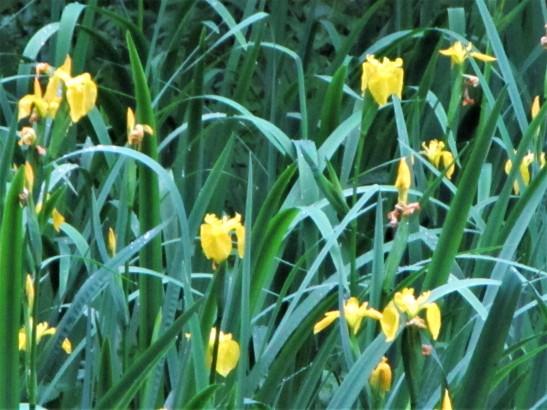 Group of flag iris. Credit C Aistrop