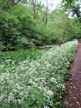 Swathes of Queen Anne Lace alongside canal towpath. Credit C Aistrop