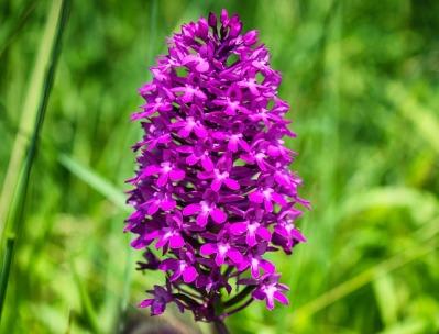 Pyramidal orchid. Tama66