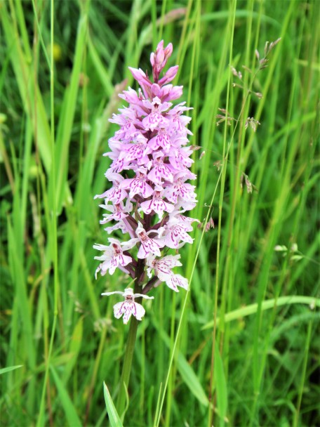 Common spotted orchid. C Aistrop
