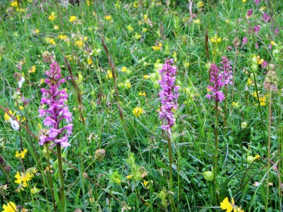 3 pretty fragrant orchids all in a row. C Aistrop