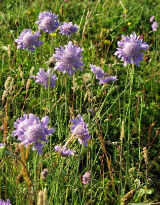 Common scabious. credit: C Aistrop