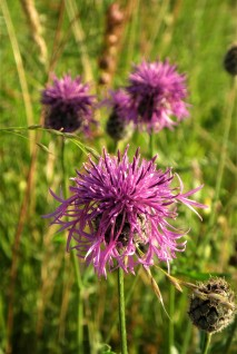 Greater Knapweed. credit: C Aistrop