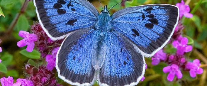 The large blue butterfly. credit: K Warrington