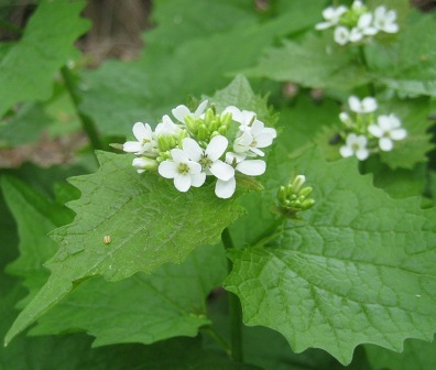 Garlic mustard flower from above - g8lakesscamperblog