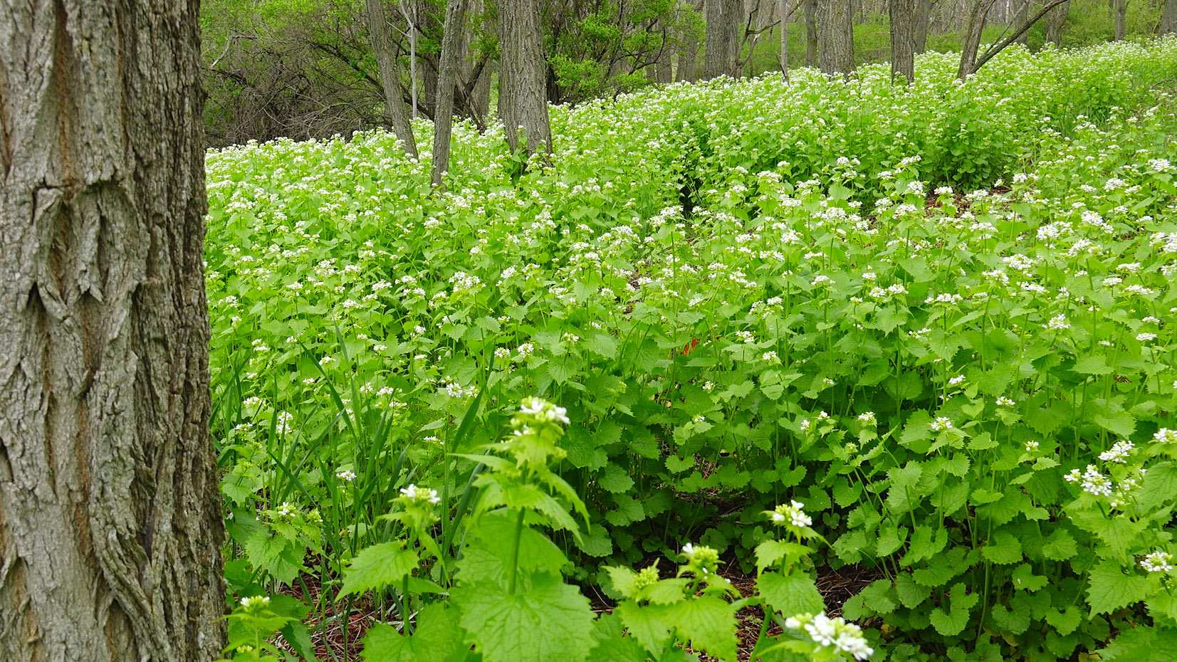 Garlic mustard in woodland - leelanauconservancy