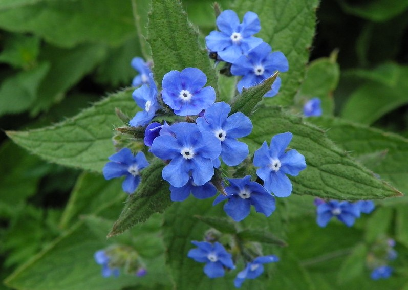 Green Alkanet - credit Pete O'Connor Flickr