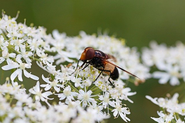 Queen Anne's lace with hoverfly - credit Jasmine 777 Pixabay