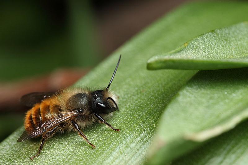Red mason bee - Brian Valentine Flickr