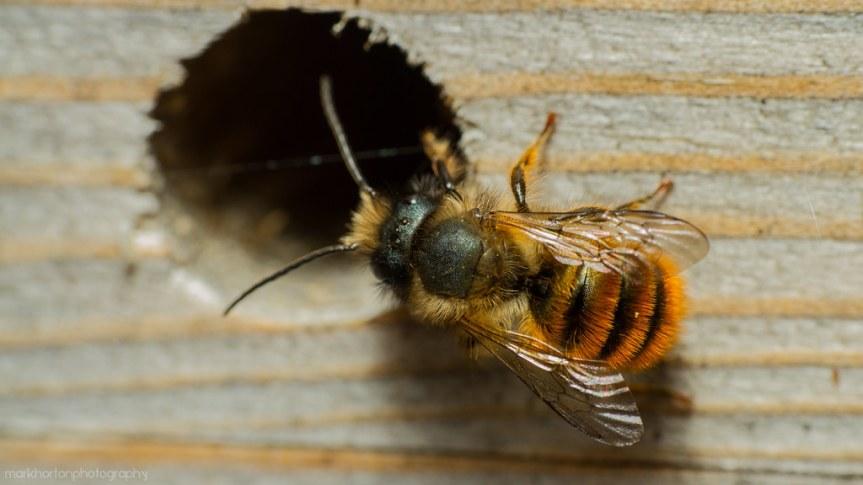 Red mason bee - flickr