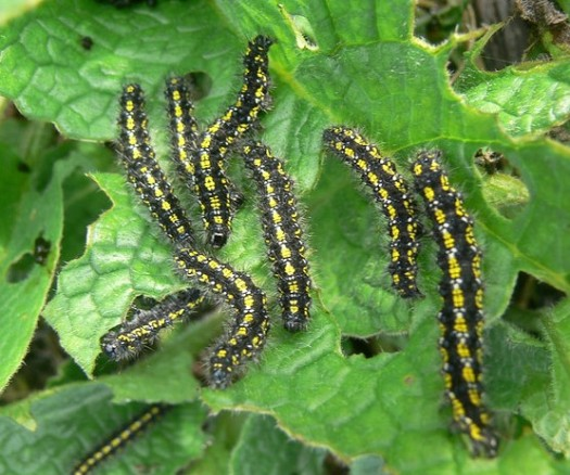 Scarlet tiger moth caterpillars by BrambleJungle