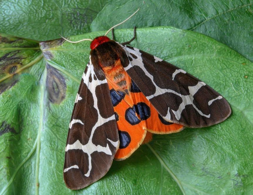 Garden tiger moth - credit Iain Linsay pixabay