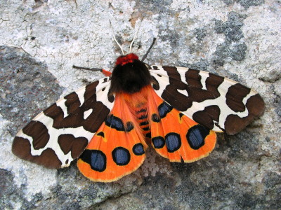 Garden tiger moth showing hindwings by mothscount.org