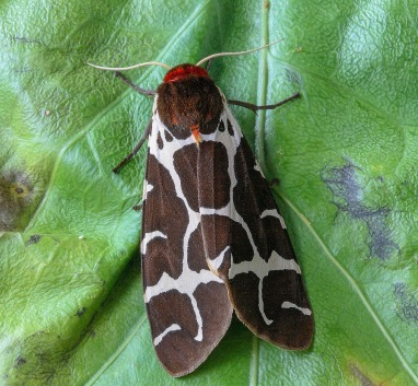 Garden tiger moth with folded wings by Iain Lindsay